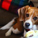 Perro Beagle - Taste of the Wild