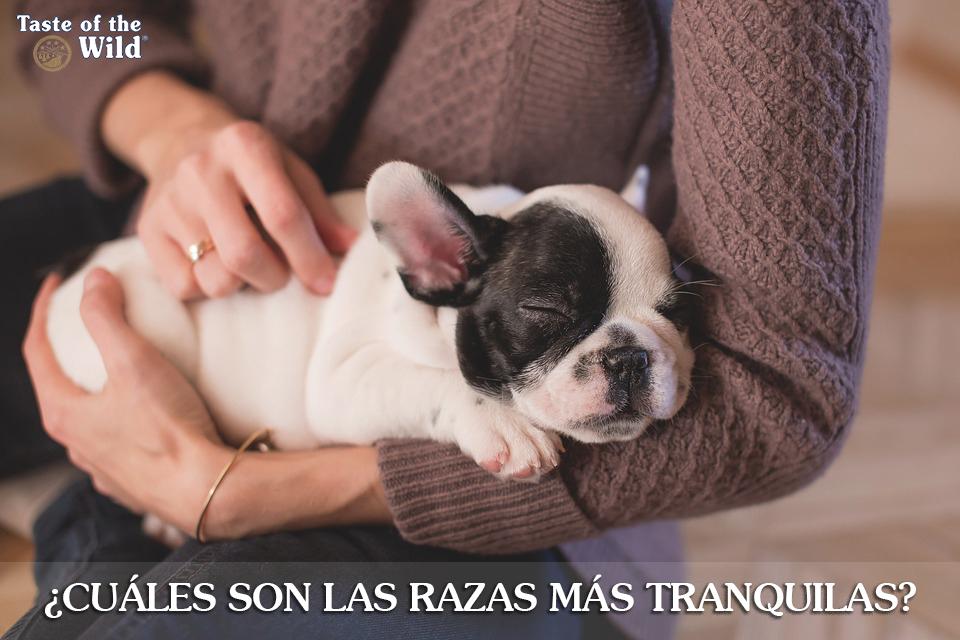 ¿Cuáles son las razas de perro más tranquilas?